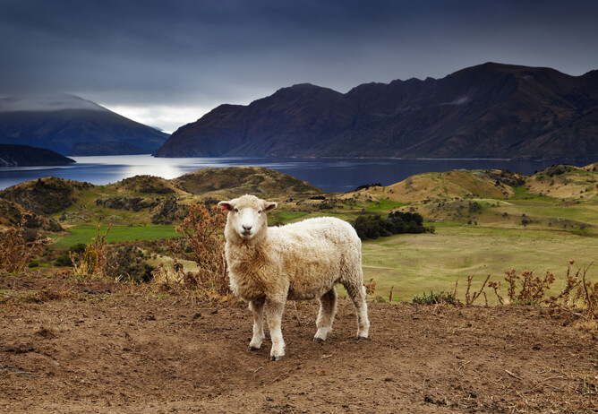 Sheep in the New Zealand landscape